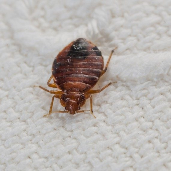 Bed Bugs, Pest Control in Earlsfield, SW18. Call Now! 020 8166 9746