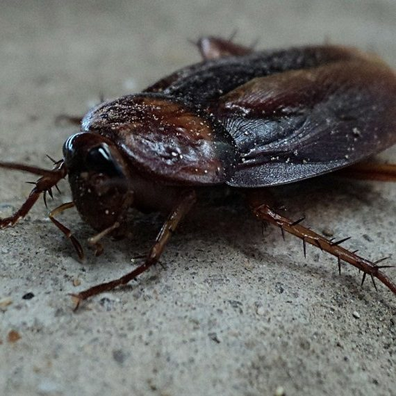 Cockroaches, Pest Control in Earlsfield, SW18. Call Now! 020 8166 9746