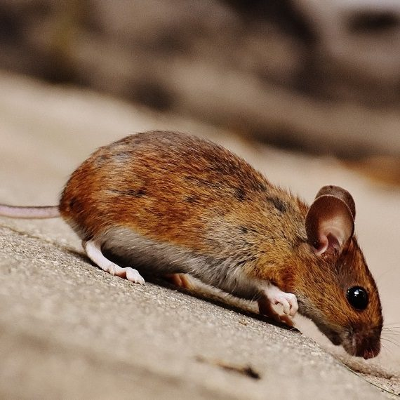 Mice, Pest Control in Earlsfield, SW18. Call Now! 020 8166 9746