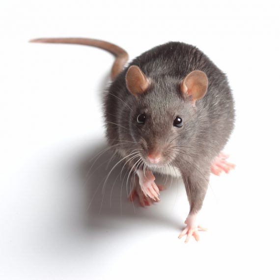 Rats, Pest Control in Earlsfield, SW18. Call Now! 020 8166 9746