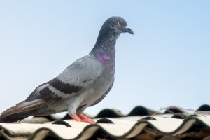 Pigeon Control, Pest Control in Earlsfield, SW18. Call Now 020 8166 9746