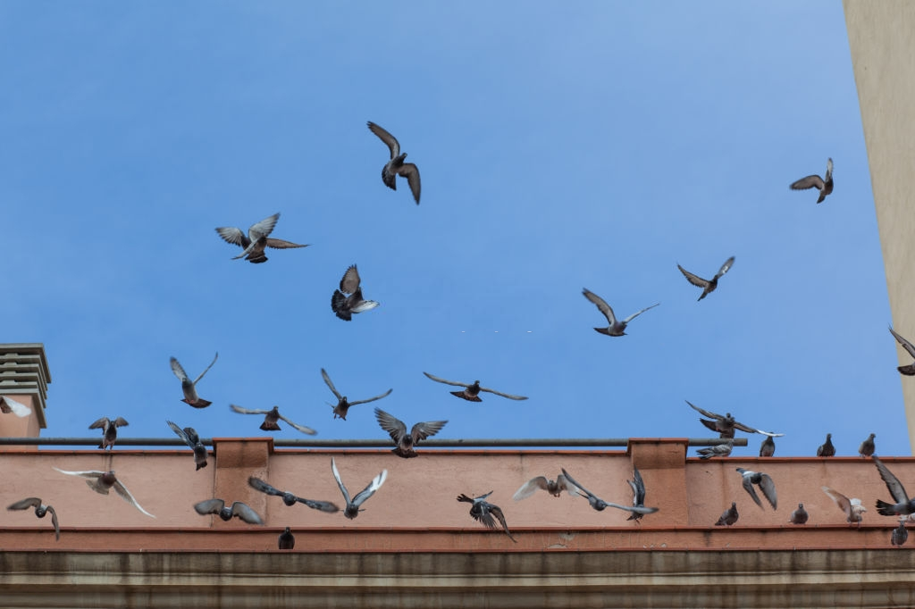 Pigeon Pest, Pest Control in Earlsfield, SW18. Call Now 020 8166 9746