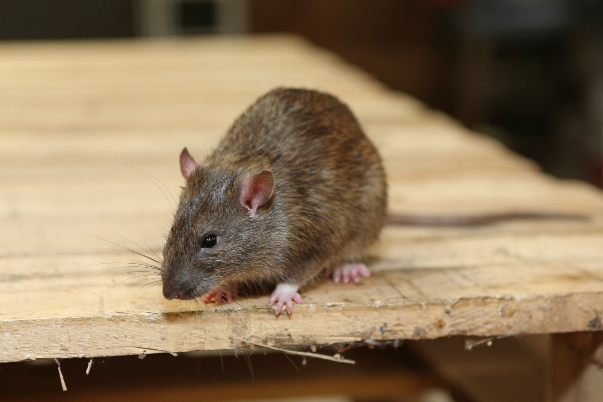 Rat Infestation, Pest Control in Earlsfield, SW18. Call Now 020 8166 9746