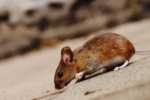Mouse extermination, Pest Control in Earlsfield, SW18. Call Now 020 8166 9746